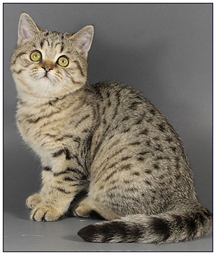 British shorthair cat, black golden spotted
