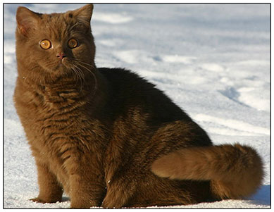 British shorthair cat cinnamon colour