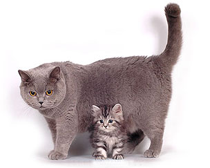 Blue british cat and british longhair kitten black silver classic tabby