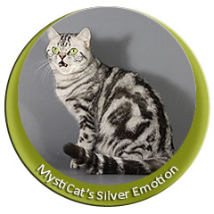 British cat black silver classic tabby with green eyes of cattery MystiCat House