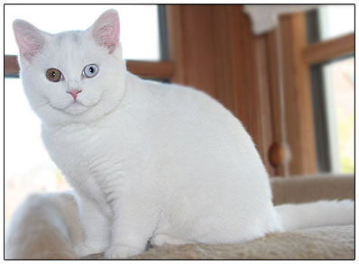 British shorthair cat white with blue and orange eyes