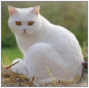 British shorthair cat white with orange eyes